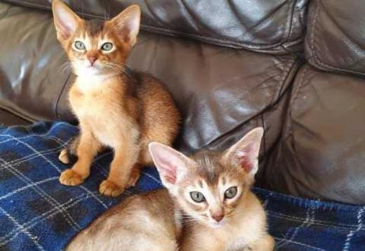 2 Abyssinian Boys for sale