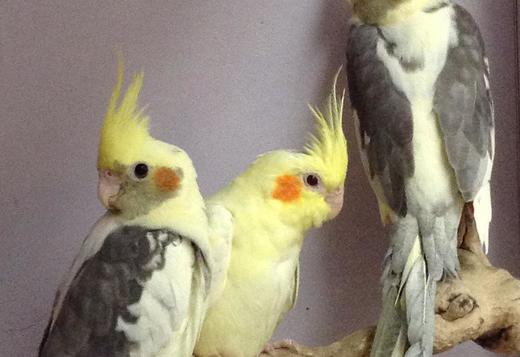 COCKAKTIEL and Cage  FOR SALE