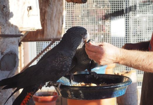 Tamed Red_Tailed Black Palm Cockatoo for sale