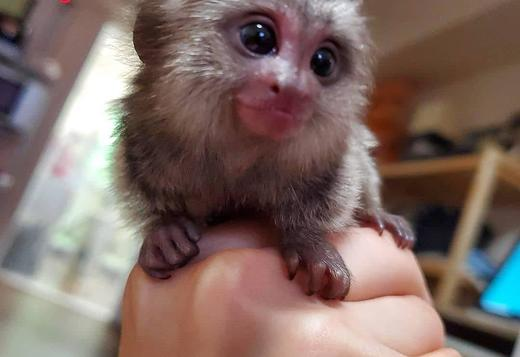 We Have Great Awesome Finger Marmosets Available