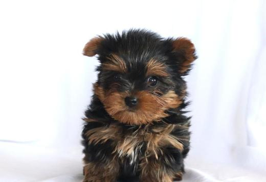 Two Teacup Yorkie Puppies for sale near me.