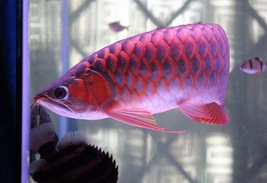 A Reliable And Guaranteed Source Of Asian Arowana In USA