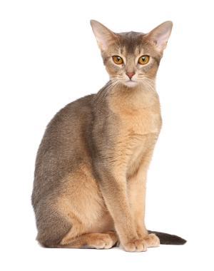 Breed Abyssinian