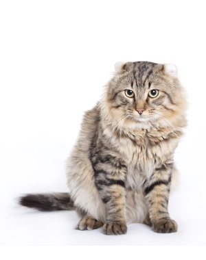 Breed American Curl