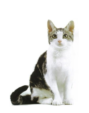 Breed American Wirehair