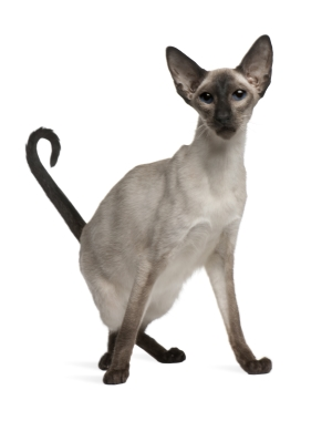 Breed Balinese cat