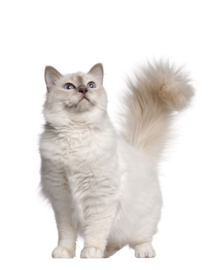 Breed Birman