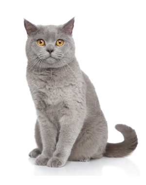 Breed British Shorthair