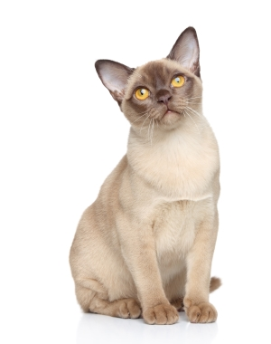 Breed Burmese