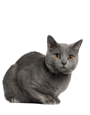 Breed Chartreux