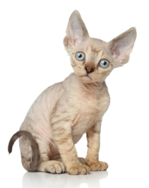 Breed Devon Rex