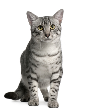 Breed Egyptian Mau