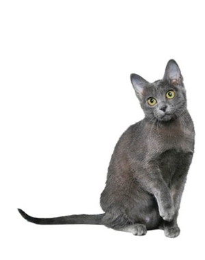 Breed Korat