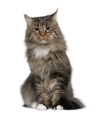 Breed Maine Coon