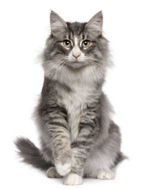 Breed Norwegian Forest Cat