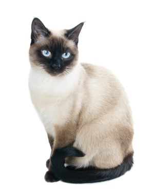 Breed Siamese