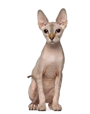 Information About Sphynx Cat Breeds