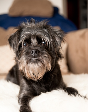 Breed Affenpinscher