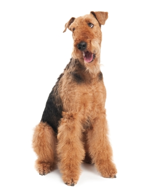 Breed Airedale Terrier