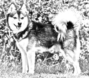 Breed Alaskan Klee Kai
