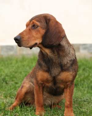 Breed Alpine Dachsbracke