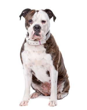 Breed American Bulldog