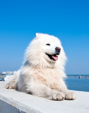 Breed American Eskimo Dog