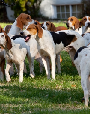 Breed American Foxhound