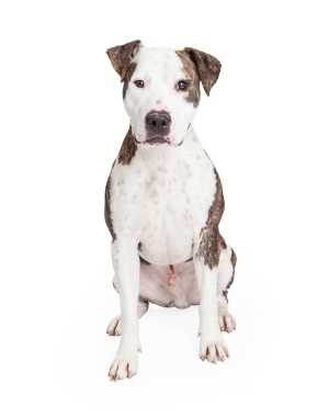 Breed American Pit Bull Terrier