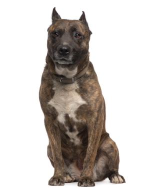 Breed American Staffordshire Terrier