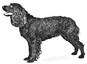 Breed American Water Spaniel