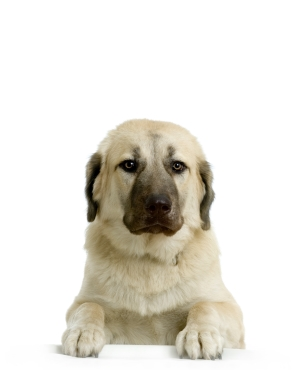 Breed Anatolian Shepherd Dog