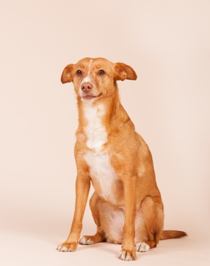Breed Andalusian Hound