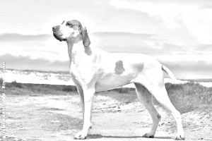 Breed Ariege Pointer
