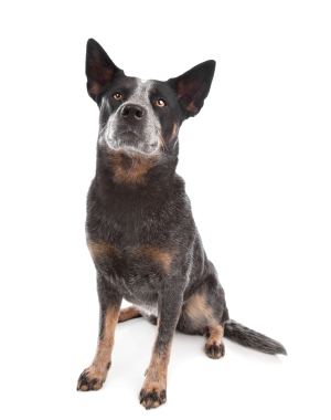 Breed Australian Cattle Dog