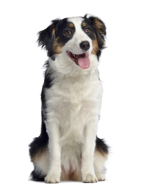 Breed Australian Shepherd