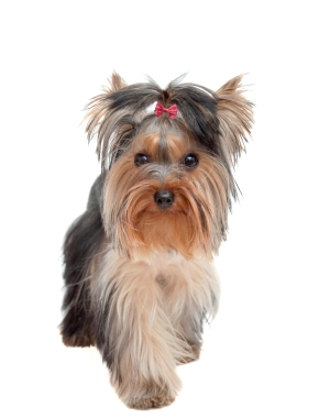 Breed Australian Silky Terrier