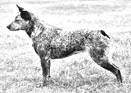 Breed Australian Stumpy Tail Cattle Dog
