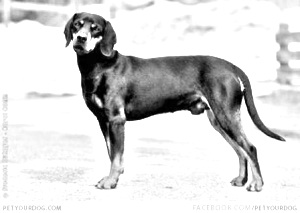Breed Austrian Black and Tan Hound