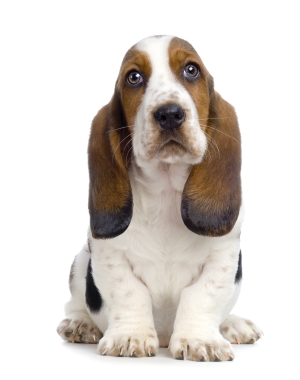 Breed Basset Hound