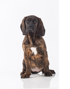 Breed Bavarian Mountain Hound