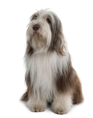 Breed Bearded Collie
