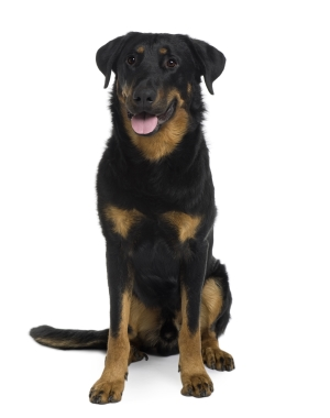Breed Beauceron