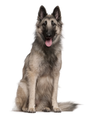 Breed Belgian Shepherd (Tervuren)