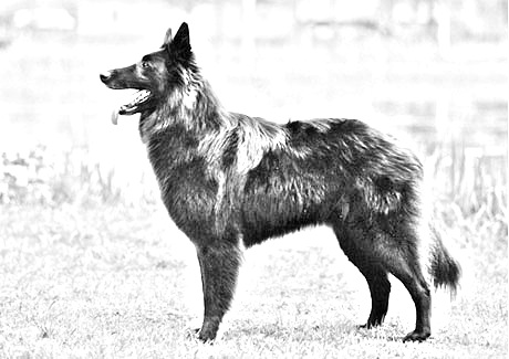 Breed Belgian Shepherd Dog (Groenendael)
