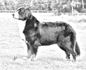 Breed Bernese Mountain Dog