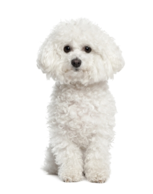 Breed Bichon Frise