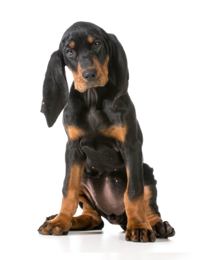 Breed Black and Tan Coonhound