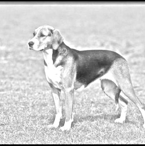 Breed Black and Tan Virginia Foxhound