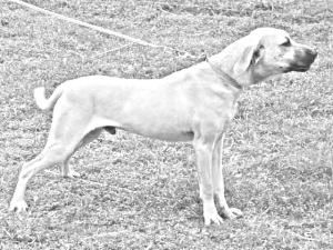 Breed Blackmouth Cur